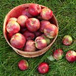 How to Store Apples to Last Through the Winter