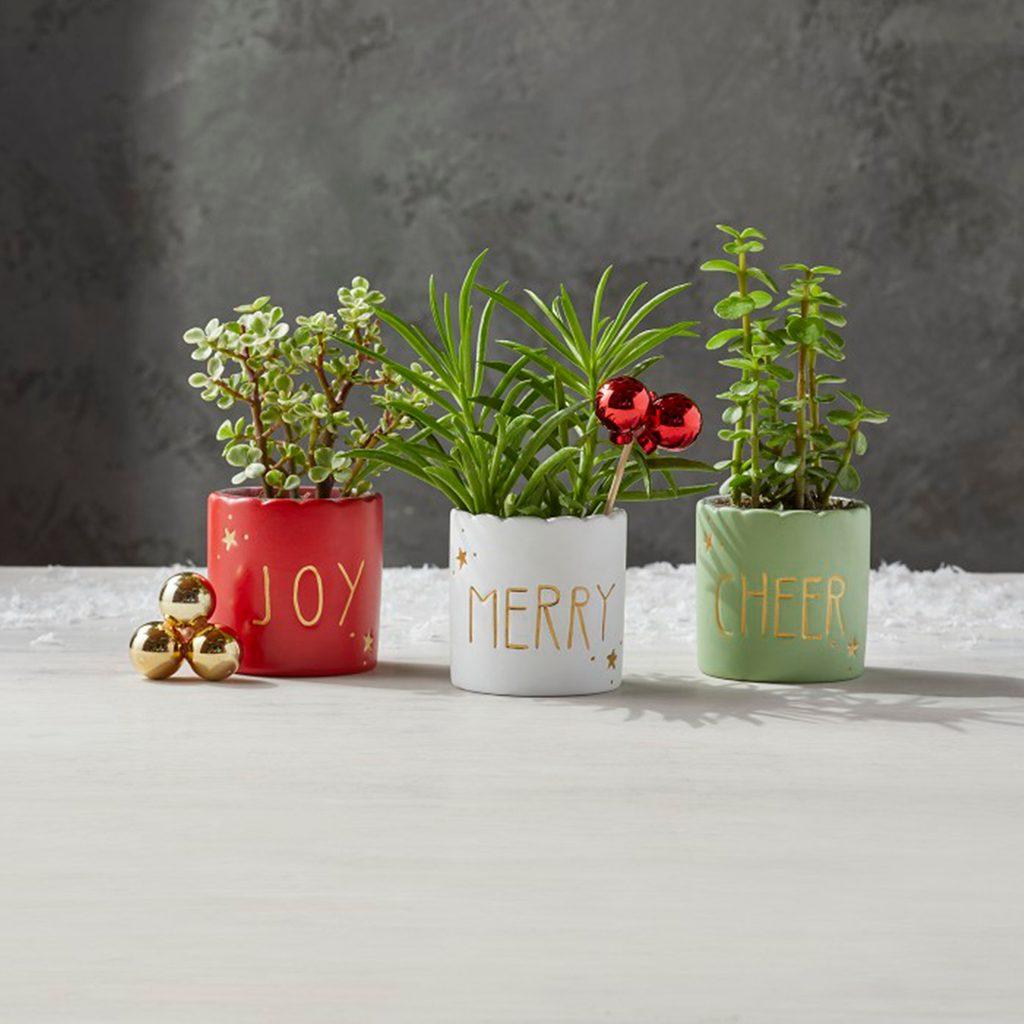 Aldi Mini Holiday Succulents