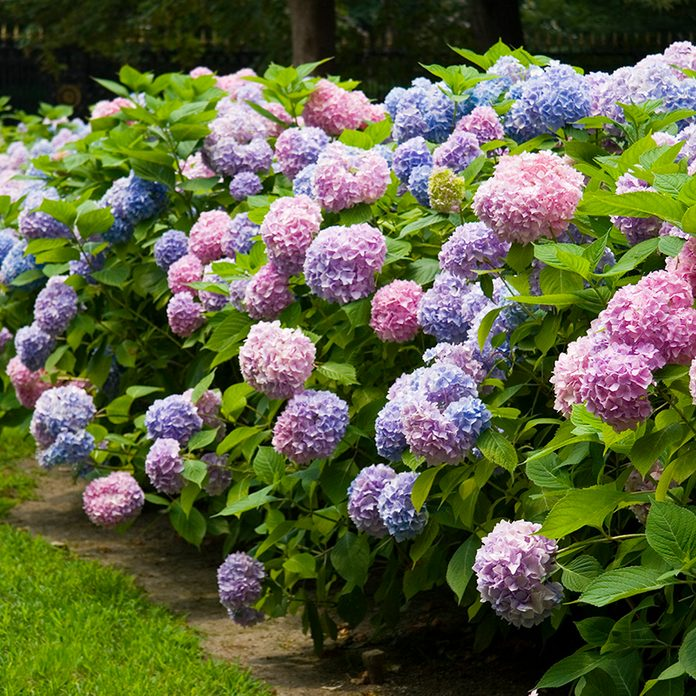 Pink and blue hydrangea hedge.