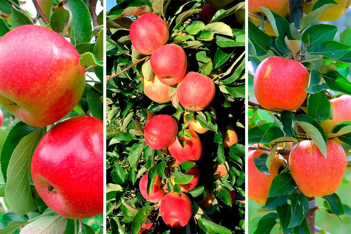 New Apple types from Cornell University