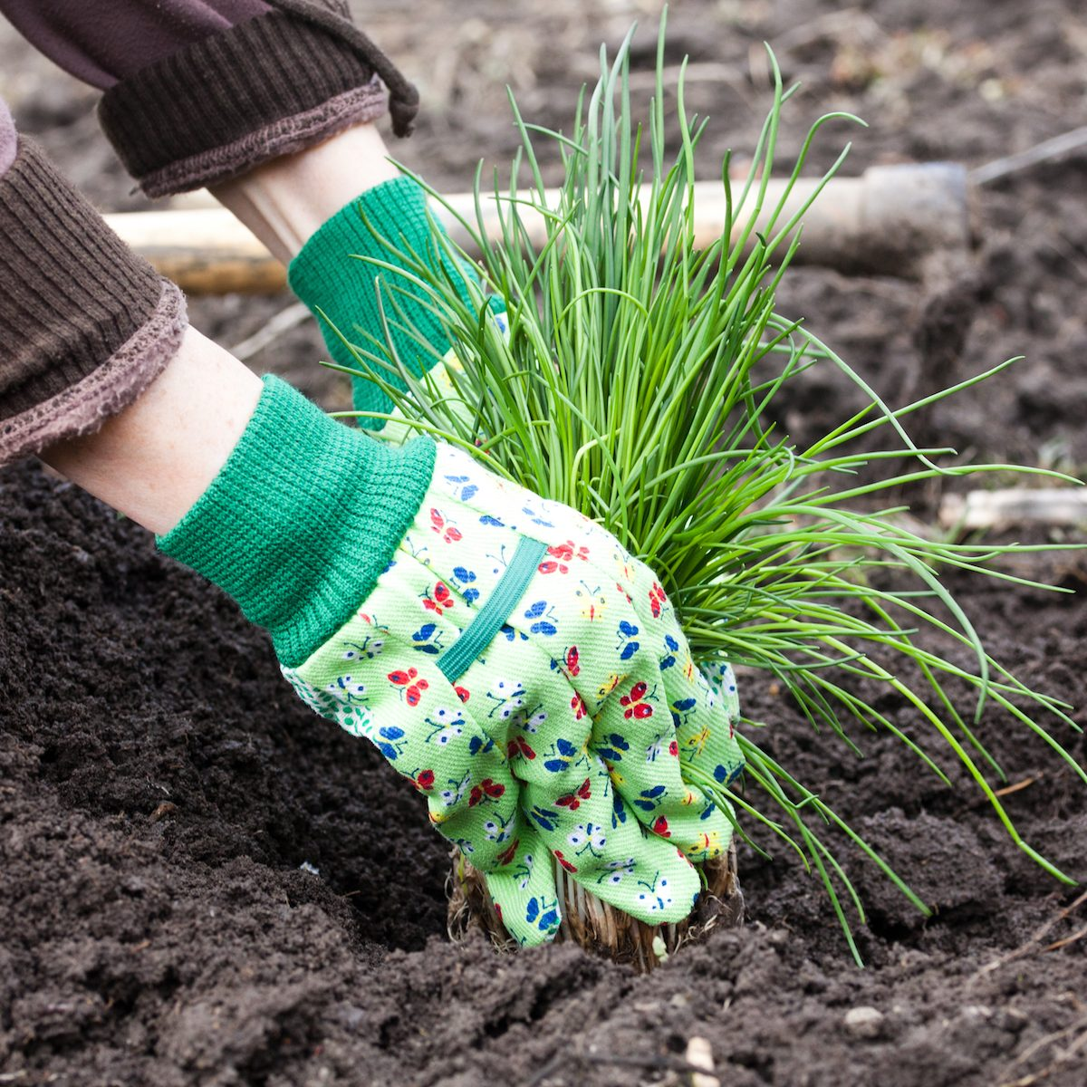 woman's hands planting chives in garden in early spring