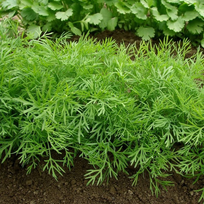 dill growing in a vegetable bed