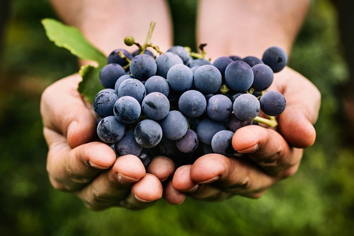 Farmers hands with freshly harvested black grapes.