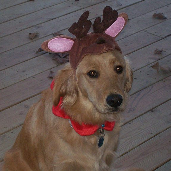 Large dog wearing deer antlers and a red collar