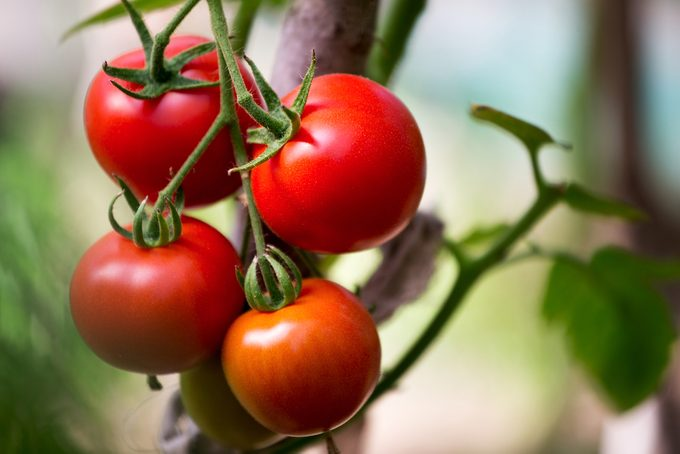 Ripe organic tomatoes on a branch in a greenhouse.