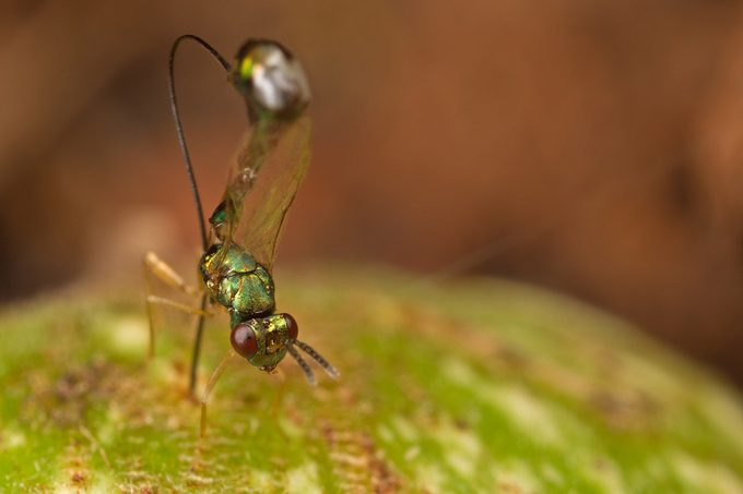 Non-pollinating fig wasp