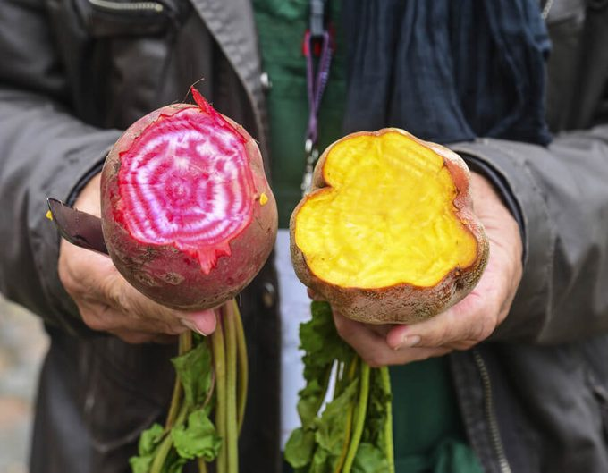 Hands of the gardener with pink and yellow beet