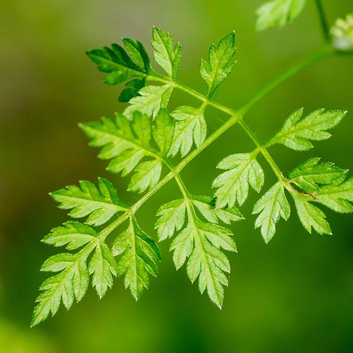 Closeup of Chervil leaf (Anthriscus cerefolium); Shutterstock ID 755733076
