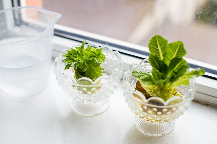 showing how to regrow celery and greens on a windowsill at home
