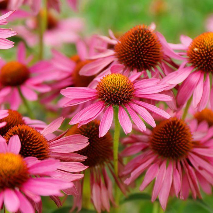 Pink Echinacea Flowers.