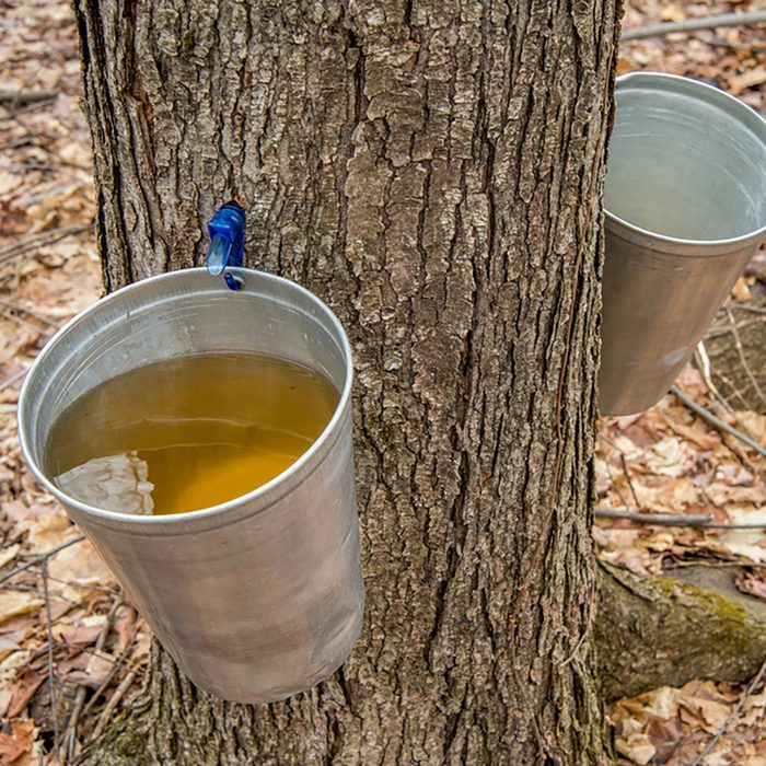 Pail used to collect sap of maple trees to produce maple syrup in Quebec