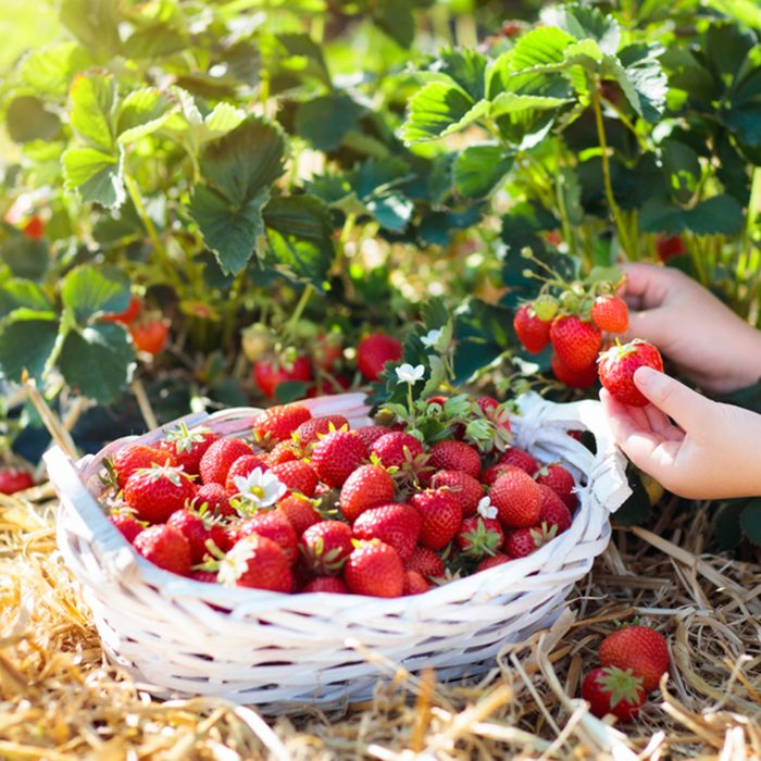 Child picking strawberry on fruit farm field on sunny summer day.