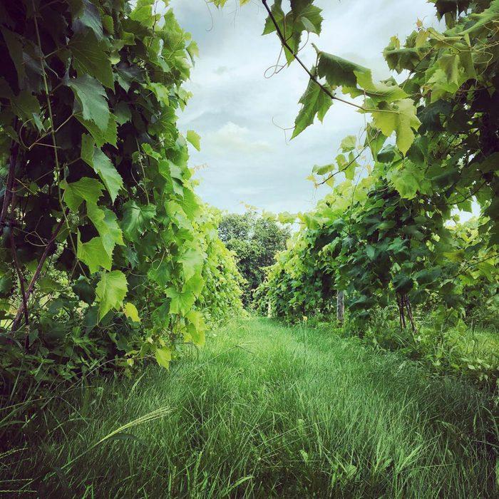 Sharpe vineyard