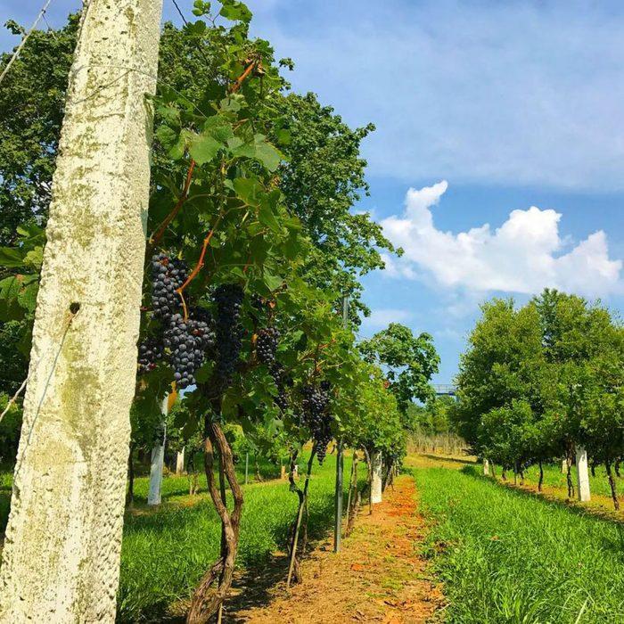 Nassau vineyard
