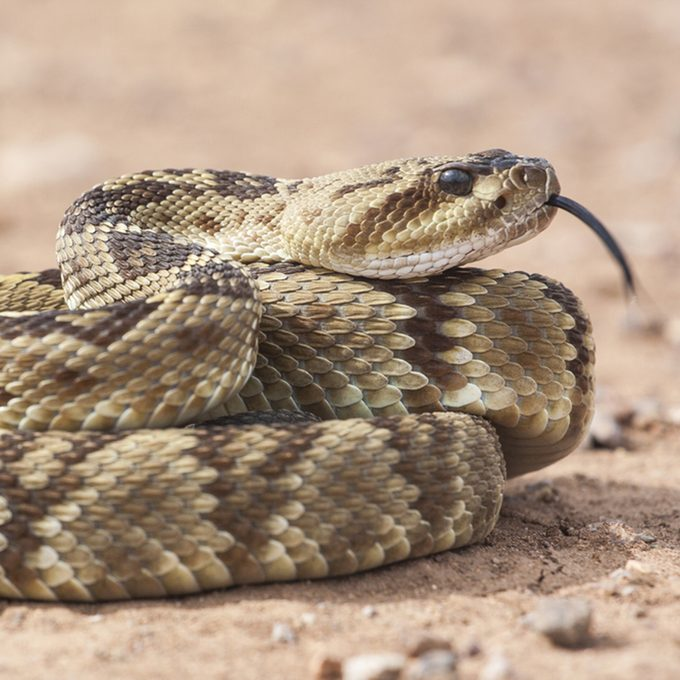 Crotalus molossus is a venomous pit viper species found in the southwestern United States and Mexico.