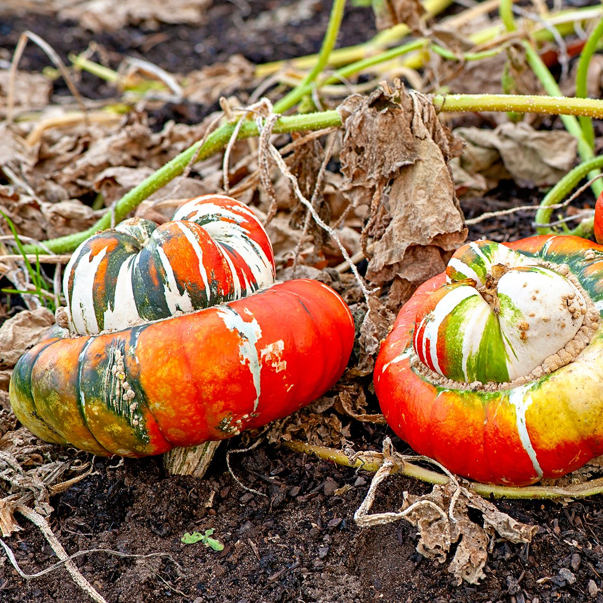 """Turban squash, also known as """"Turk's turban"""" or """"French turban"""", is a type of squash most often used as a winter squash. It is an heirloom, predating 1820. A cultivar of Cucurbita maxima, it is closely related to the buttercup squash. It is typically 6 pounds when mature"""