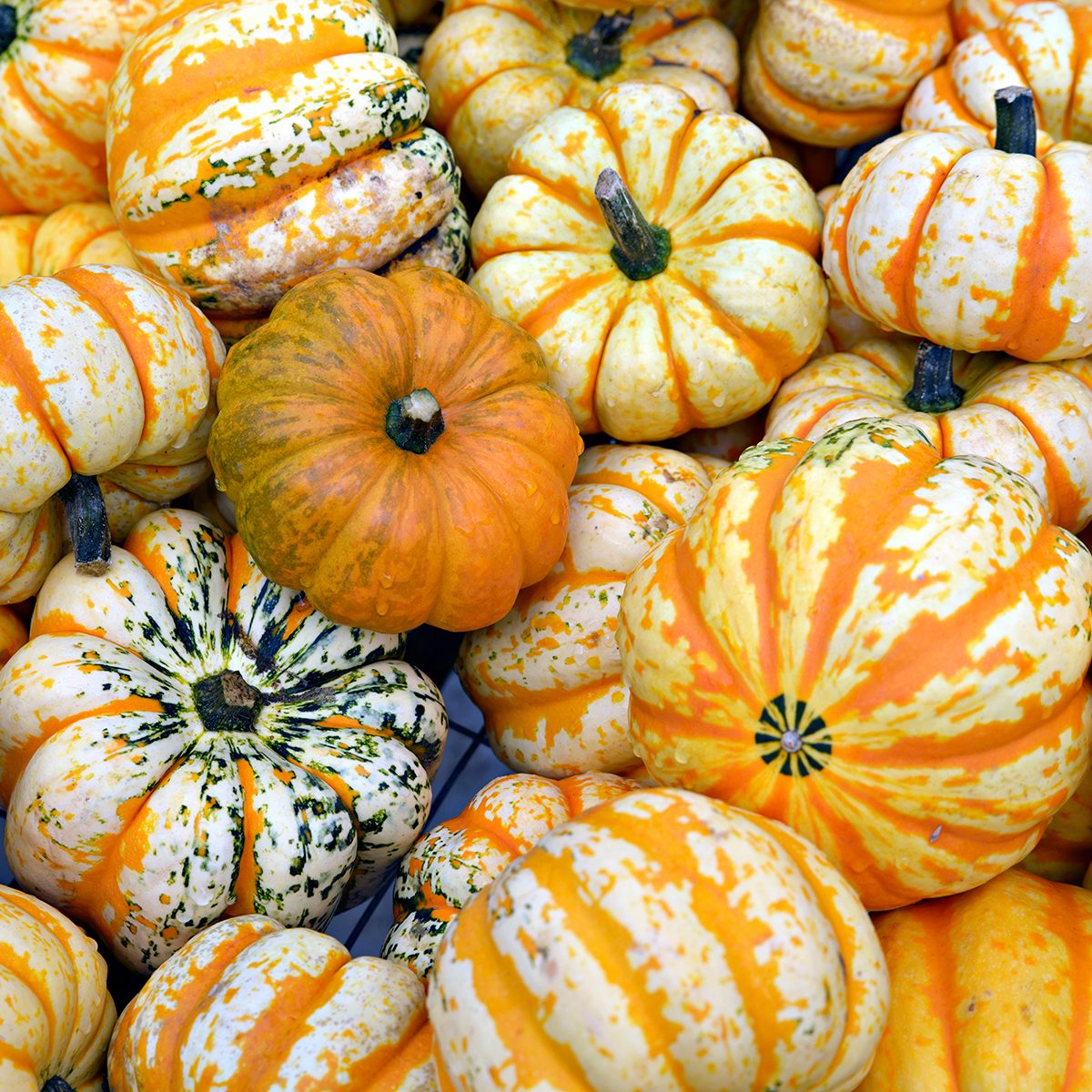 A detailed close up of white and orange striped carnival dumpling squash in a pile. A great background image.