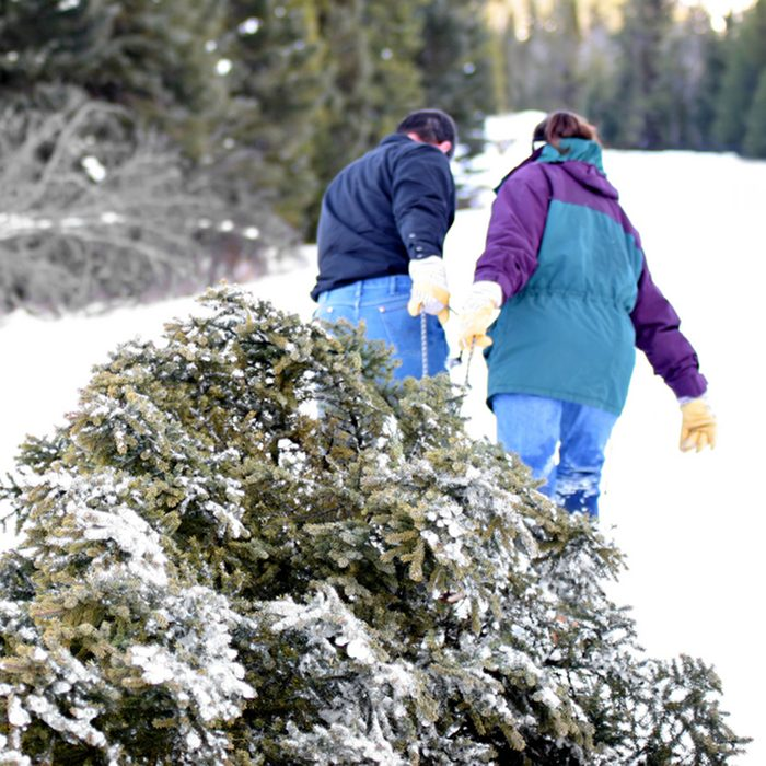 christmas tree - husband and wife having cut down their own tree are pulling it out of the forest.