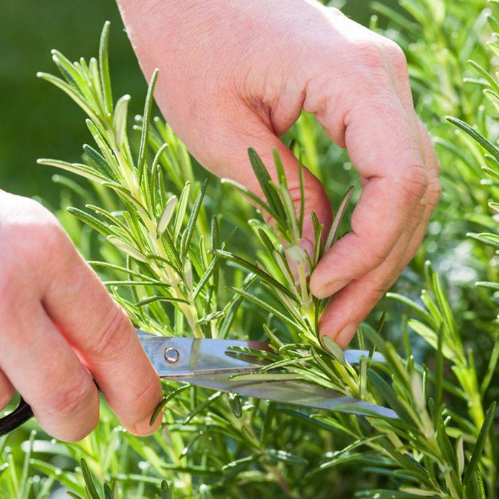Woman gathers fresh rosemary herb in the garden; Shutterstock ID 213917086; Job (TFH, TOH, RD, BNB, CWM, CM): TOH