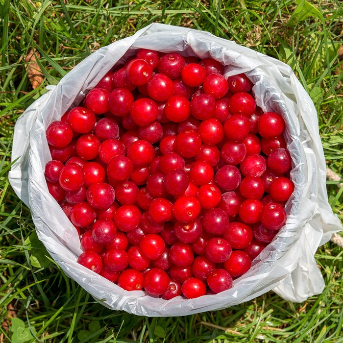 Pail full of freshly picked cherries sitting on the ground and seen from above.