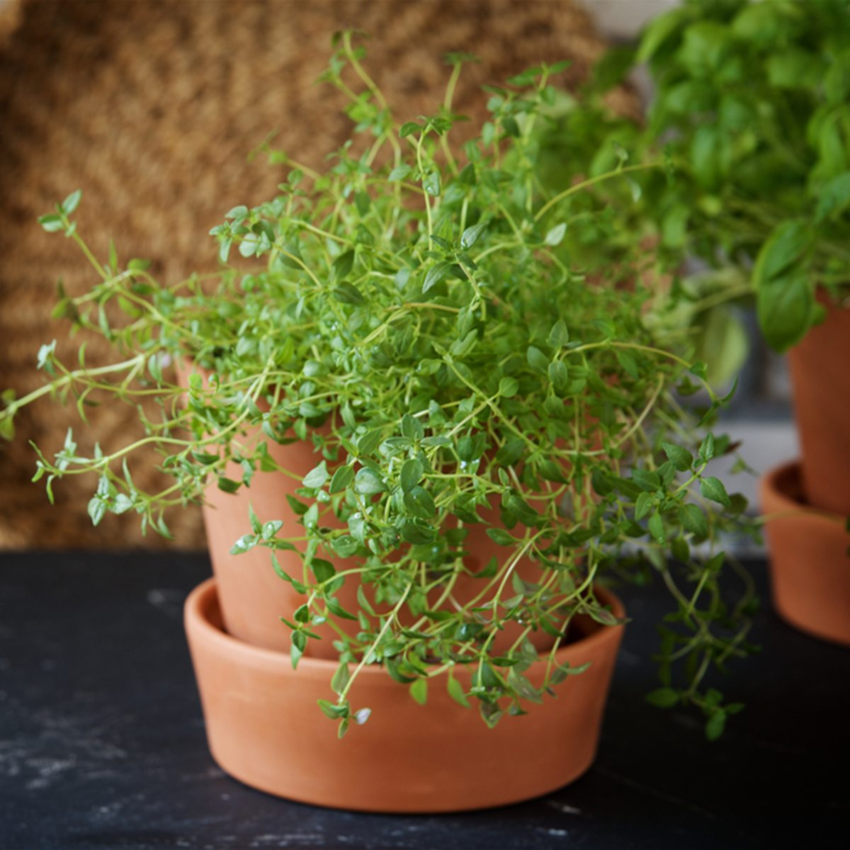 Home-grown thyme in a pot