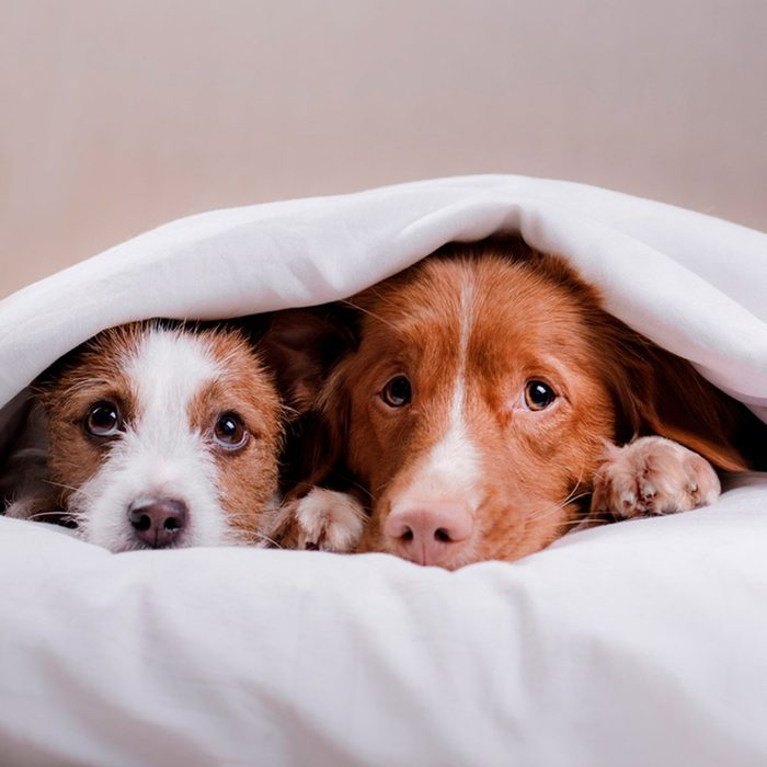 Two dogs under a white sheet peeking out