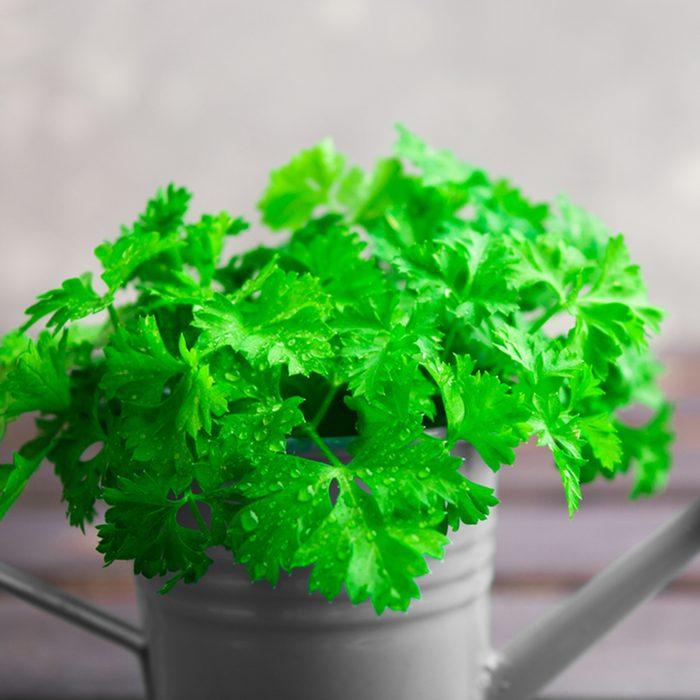 Closeup view of fresh green parsley in pot