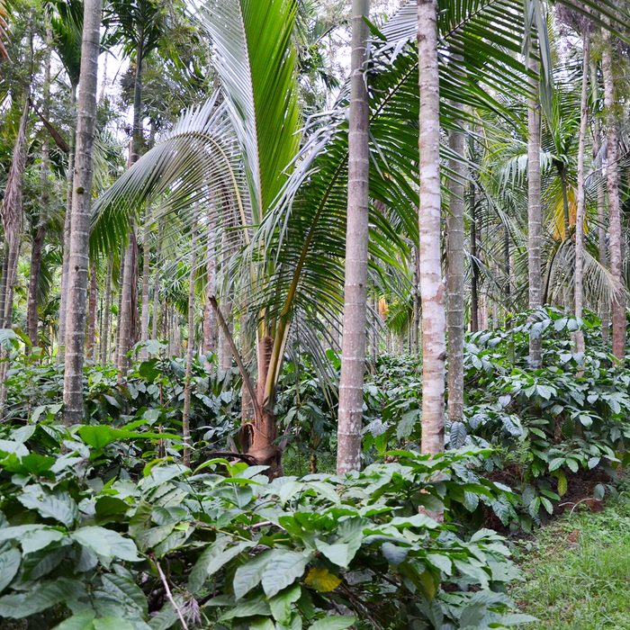 Coffee Plantation at Chickmiagalore