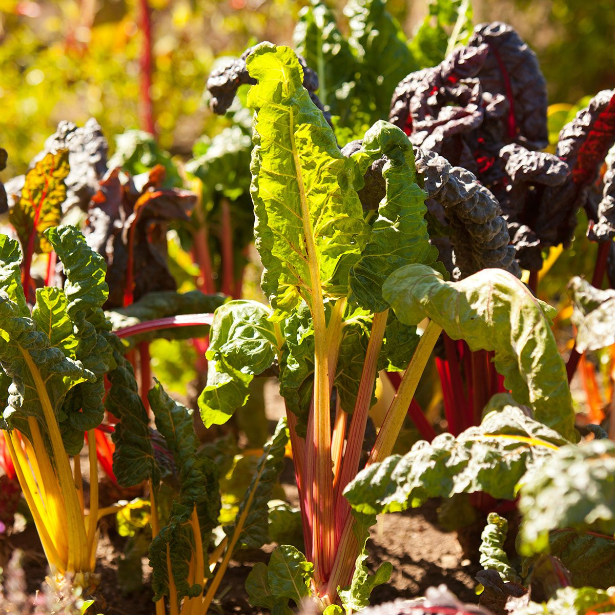 Growing rainbow chard