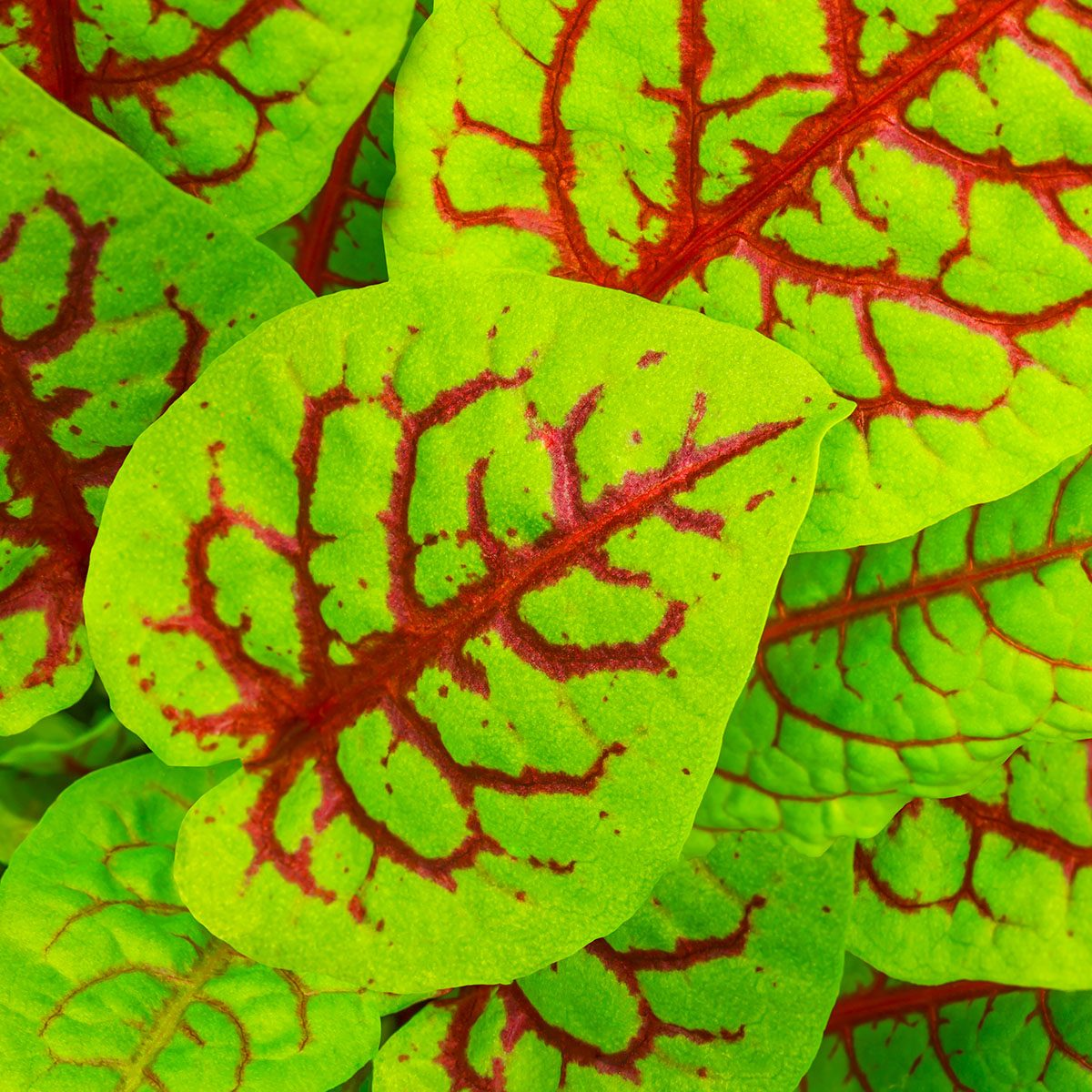 Red veined sorrel or Bloody sorrel or Rumex sanguineus.