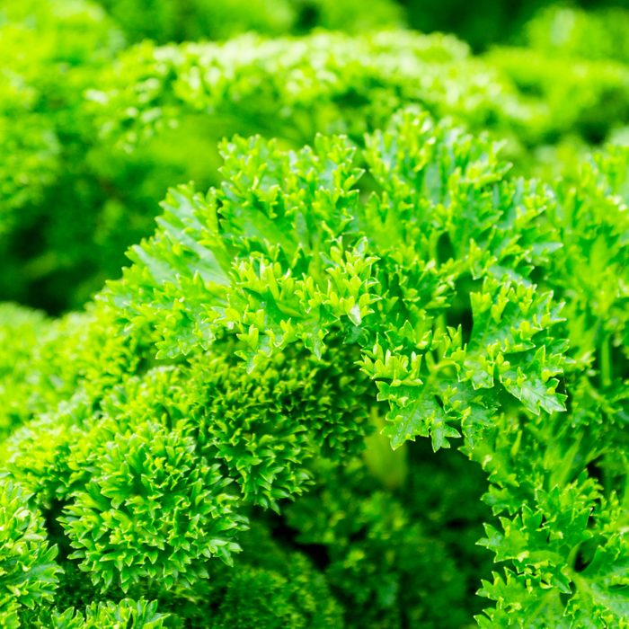 Fresh green parsley in the garden. selective focus. Shallow depth of field.; Shutterstock ID 1212686947; Job (TFH, TOH, RD, BNB, CWM, CM): TOH Edible Landscaping
