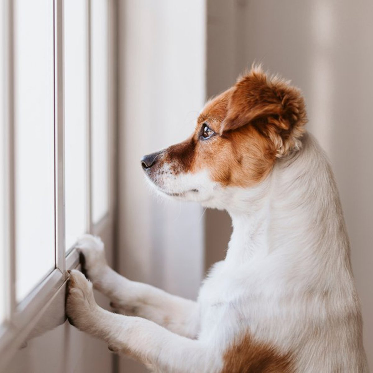 Puppy watching excitedly through a window
