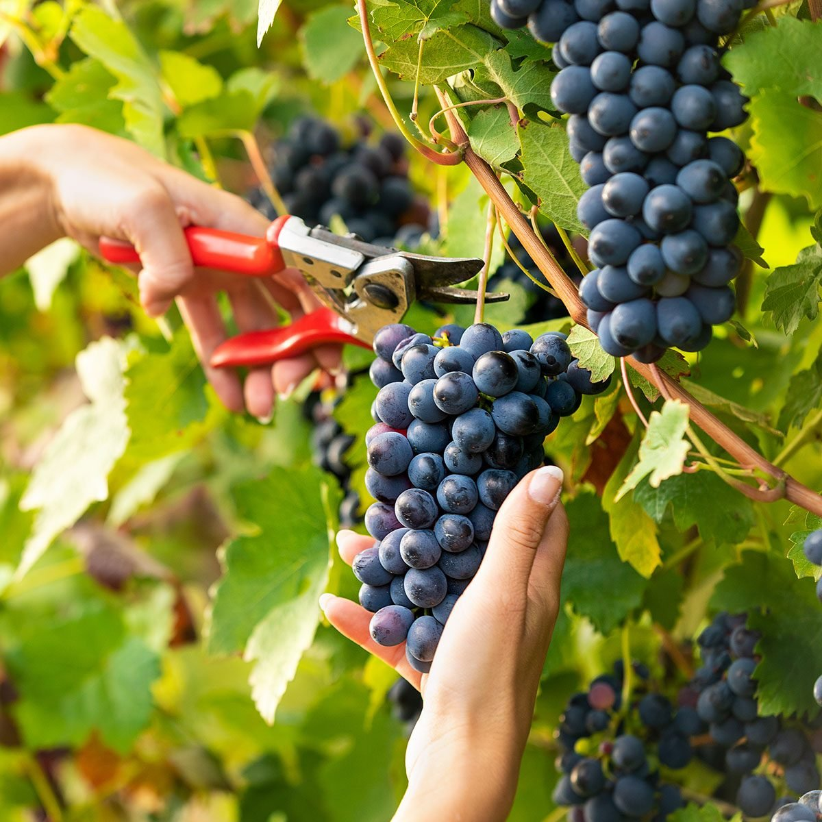 Young pretty woman picking bunches of ripe black grapes on the vines in a winery vineyard in a close up view of her hands and secateurs