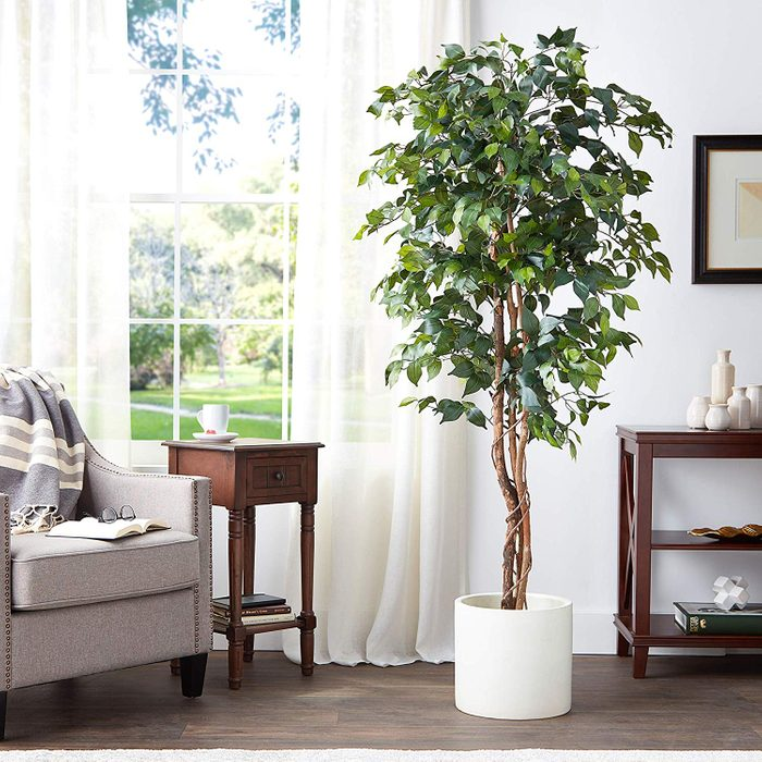 Natural-Looking Ficus Tree