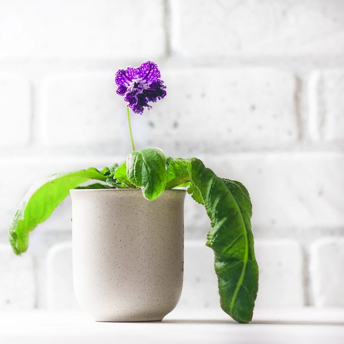 streptocarpus_749591032 house plant flower