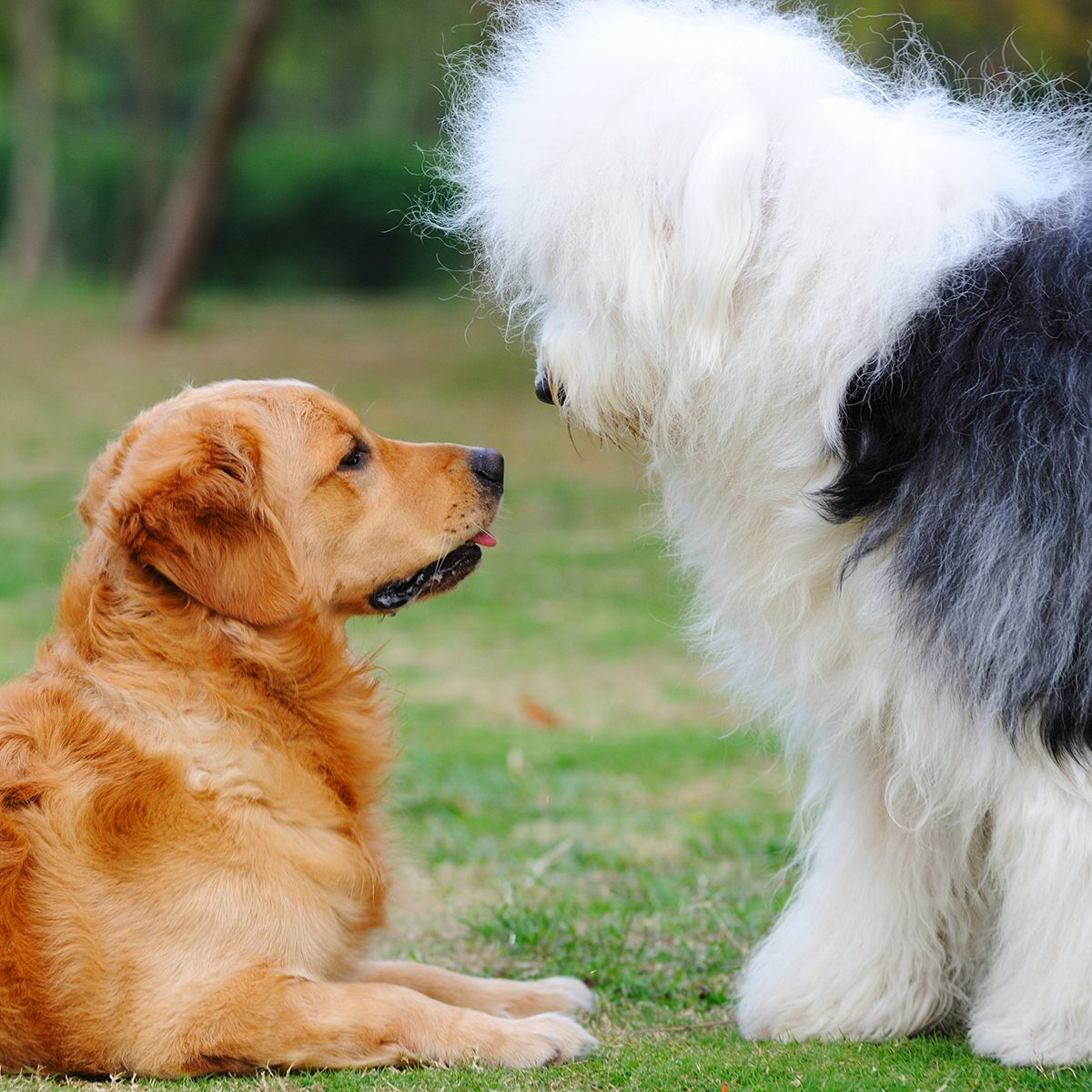 Golden retriever laying down and looking up at a standing English sheepdog