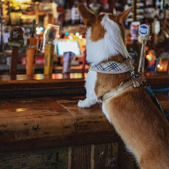 Dog on a bar stool with paws on the bar