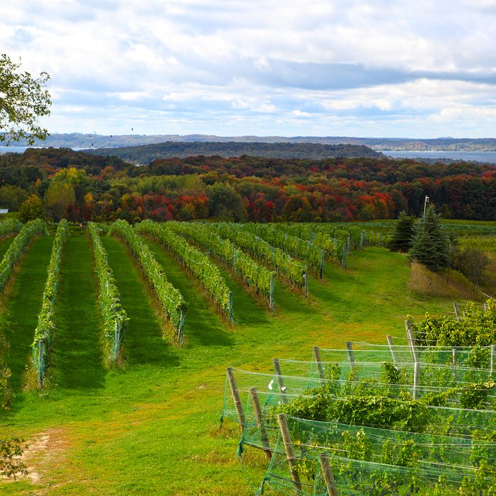 Vineyard field in Old Mission Peninsula Michigan in the Autumn