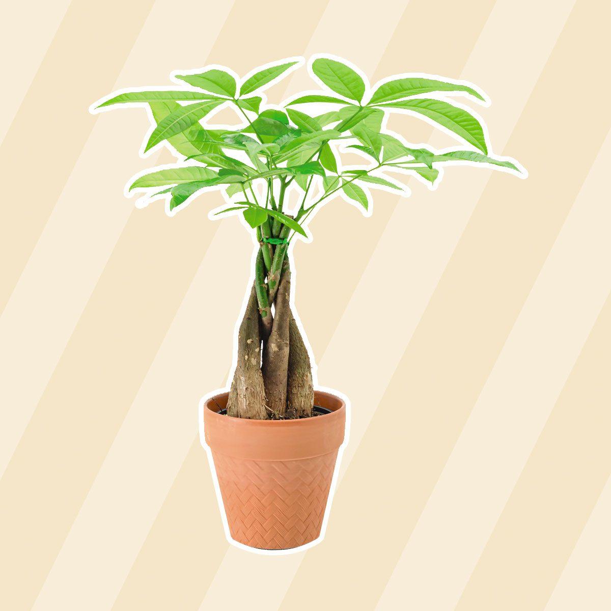 "5"" Money Tree aldi finds"