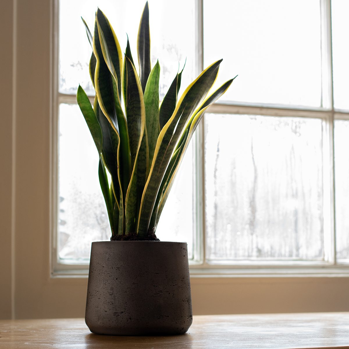 A Sansevieria trifasciata indoor plant, next to a nice white interior.
