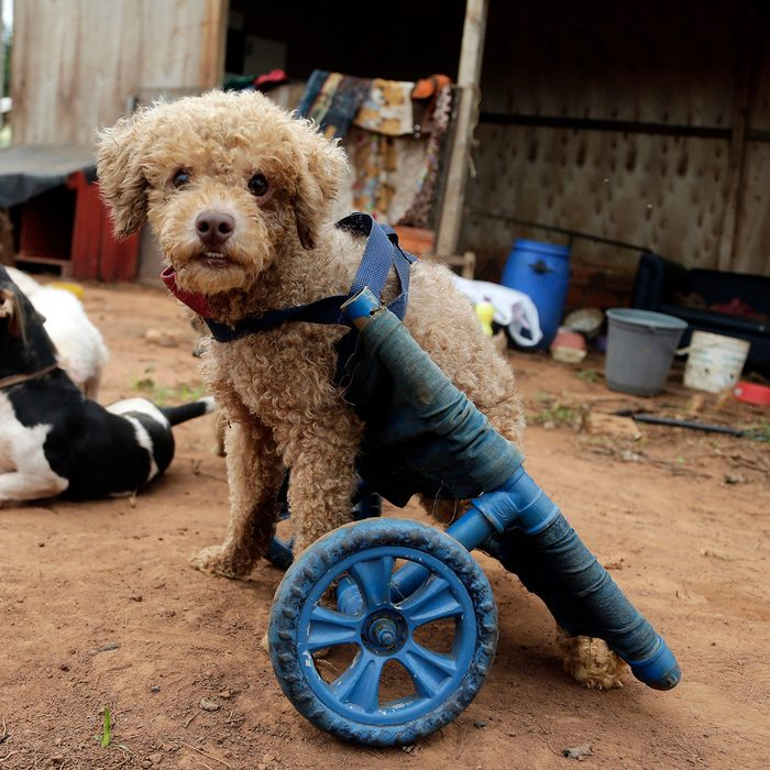 Dog outside in a device with wheels