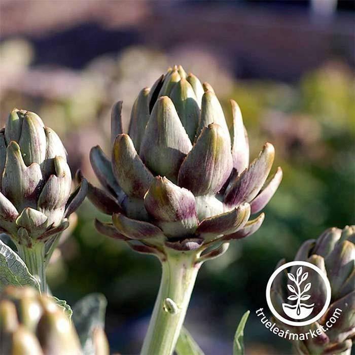 true leaf market artichoke