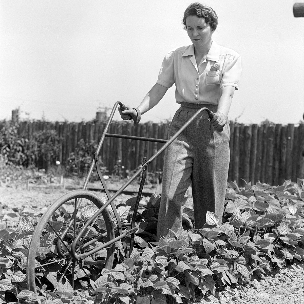 UNITED STATES - Circa 1940s: Woman Wearing Blouse Slacks And Gloves Pushing A Harrow Between Rows Of Plants In A Vegetable Garden With A Rustic Fence In The Background.
