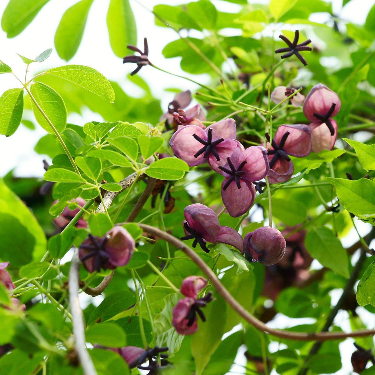 Purple flowers bloom in the spring, and the fruit is similar to kiwi. Gyeonggido province in South Korea, 2014.