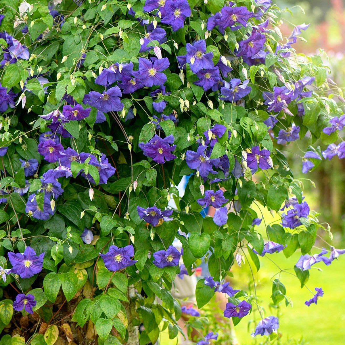 Close-up of the beautiful vibrant purple summer flowers of Clematis Jackmanii purpurea climbing up a garden tree