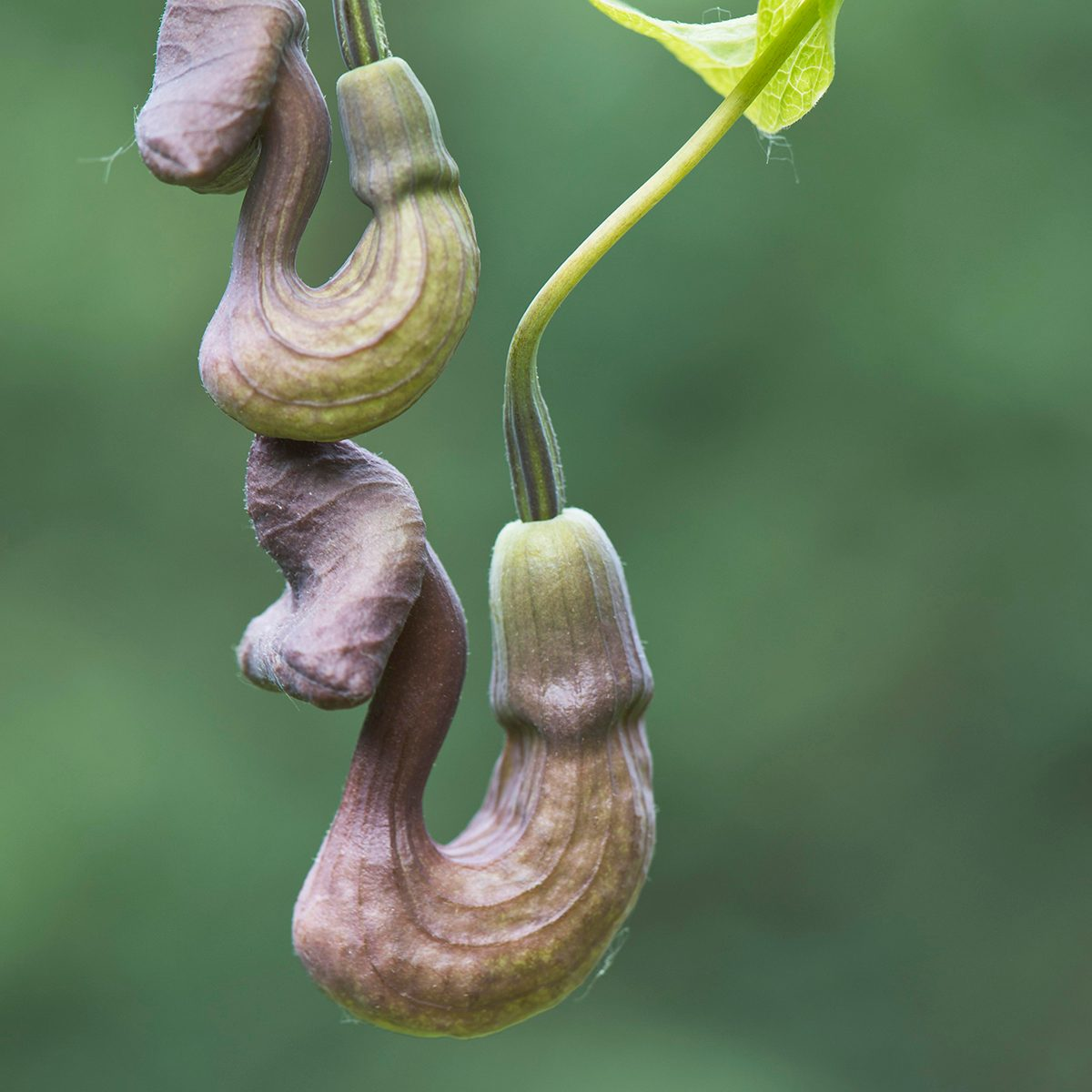 Dutchman's pipe (Aristolochia macrophylla), flowers, Emsland, Lower Saxony, Germany