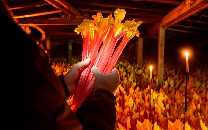 Farmer holding bunch of rhubarb in candlelit barn