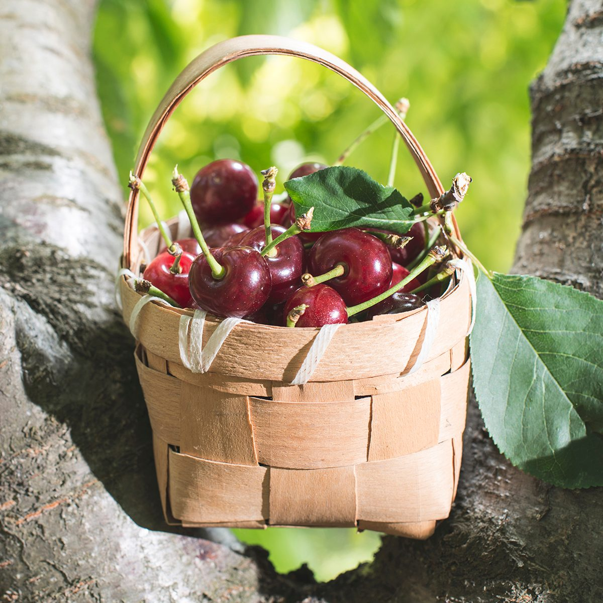 Morello Cherries in a basket on a tree. Bulgaria, Plovdiv