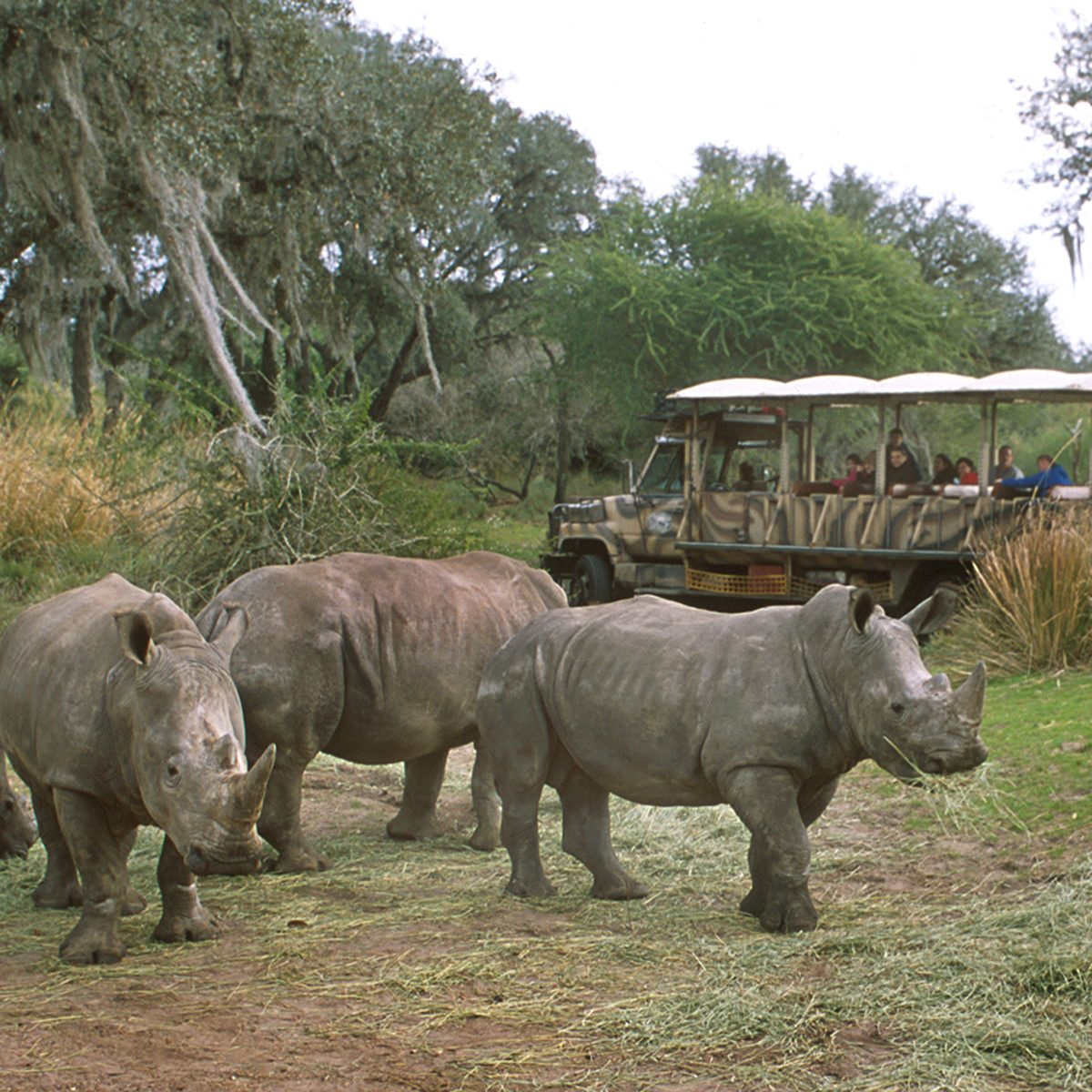 As visitors pass by on a 'safari' truck, a group of rhinoceroses wander the grounds of the Animal Kingdom Theme Park at Disneyworld, Orlando, Florida, August 2012. (Photo by Tom Nebbia/Corbis via Getty Images)