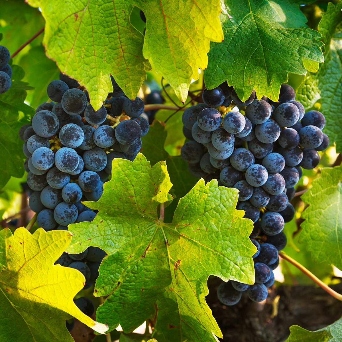 Close-up of grapes on the vine in California wine country.